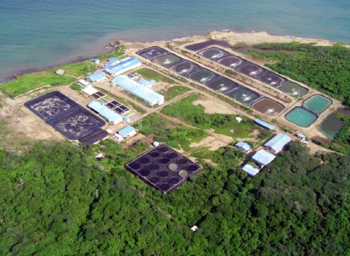 Article image for CENIACUA develops WSSV-resistant shrimp in Colombia