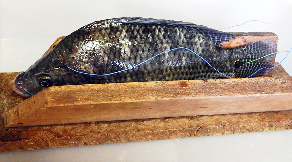 Article image for Stunning methods for fish