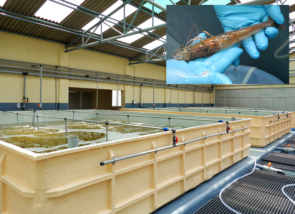 Article image for Broodstock center in India supports domestic shrimp-farming industry
