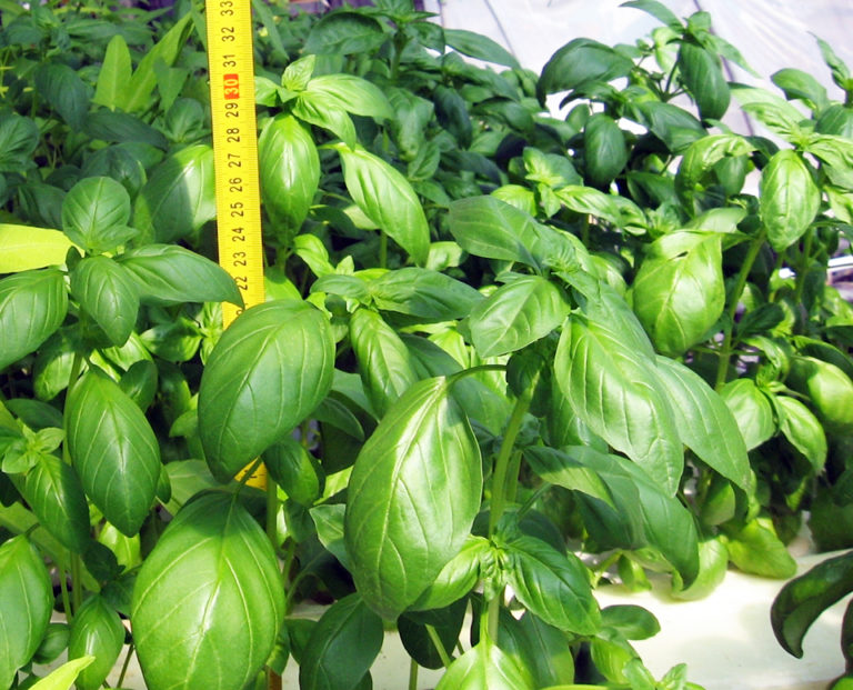Article image for Saline aquaponics: Potential player in food, energy production