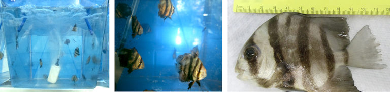 Article image for Feeding rate, frequency affect growth of juvenile Atlantic spadefish