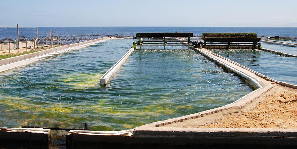 Seaweed mariculture