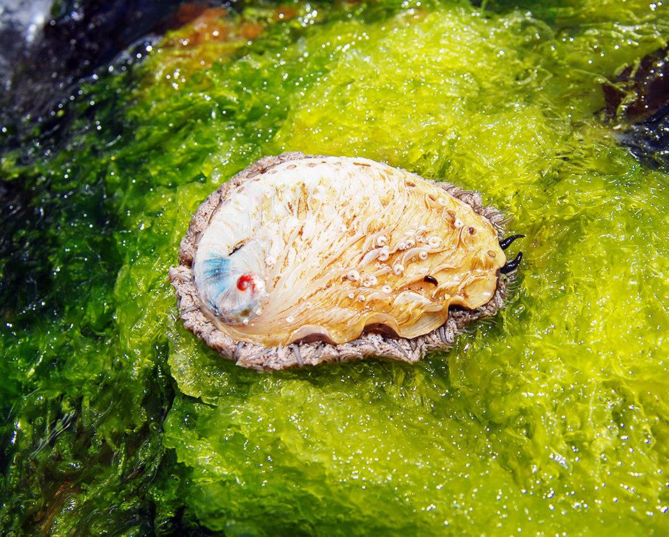 macroalgae aquaculture
