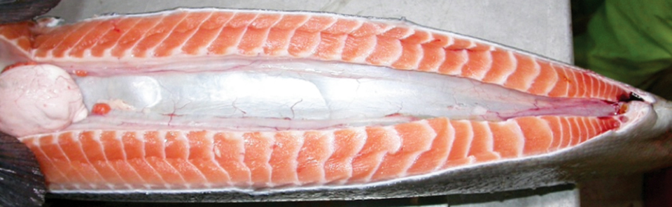 Article image for Sex determination in Tasmanian Atlantic salmon