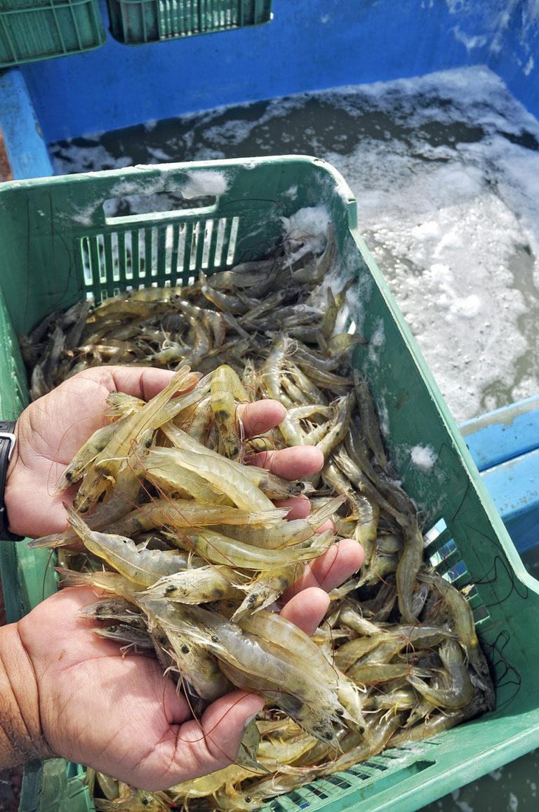 Article image for Domestic market for farmed shrimp in Brazil