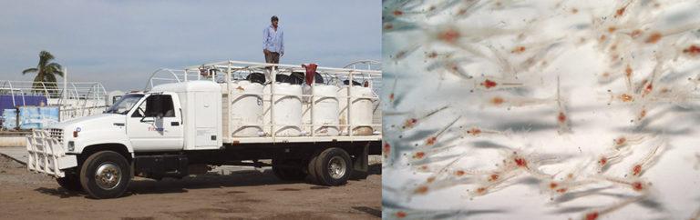 Article image for Sound hatchery protocols enhance shrimp postlarvae quality