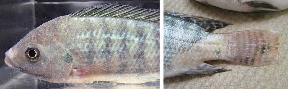 Article image for Parasitism enhances tilapia susceptibility to Flavobacterium columnare