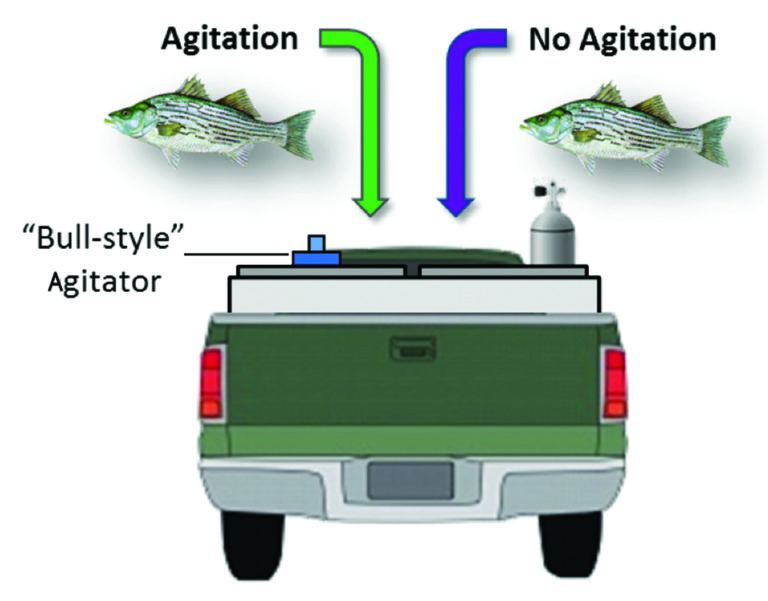 Article image for Improving transportation of live hybrid striped bass
