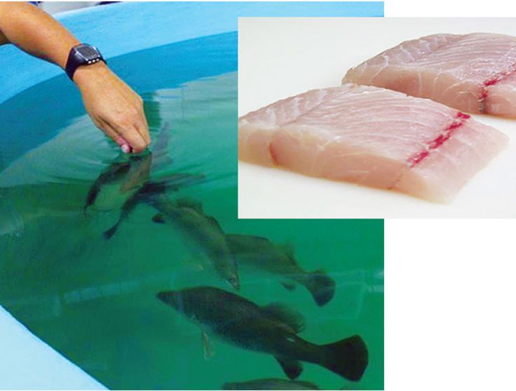 Article image for Adding flavor complexity to farmed barramundi