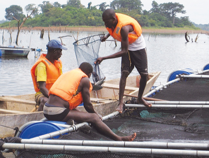 Article image for Large-scale tilapia project driving aquaculture development in Ivory Coast