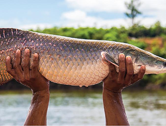 Article image for Pirarucu culture in the Brazilian Amazon
