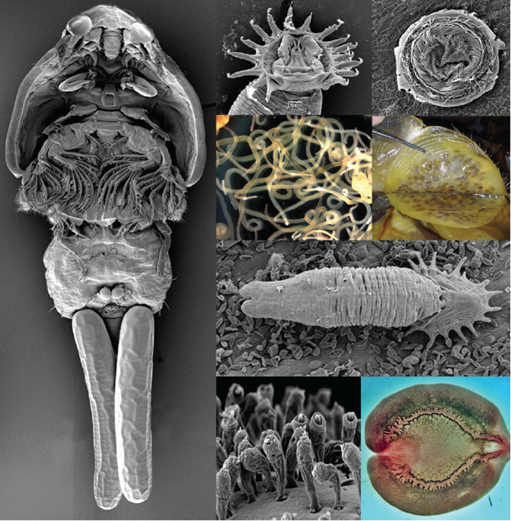 Article image for Economic impacts of aquatic parasites on global finfish production