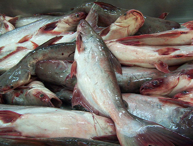 Article image for Risk v. hazard: A dispassionate look at pangasius