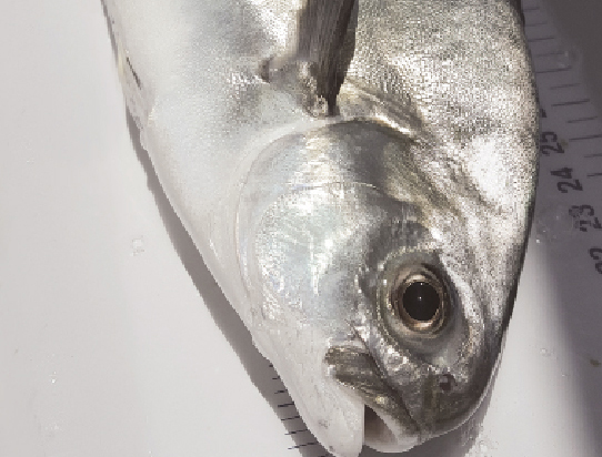 Article image for Maximizing nutrition for adult marine fish