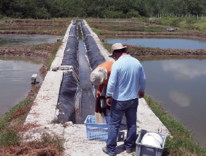 Article image for Natural feed additive improves shrimp productivity