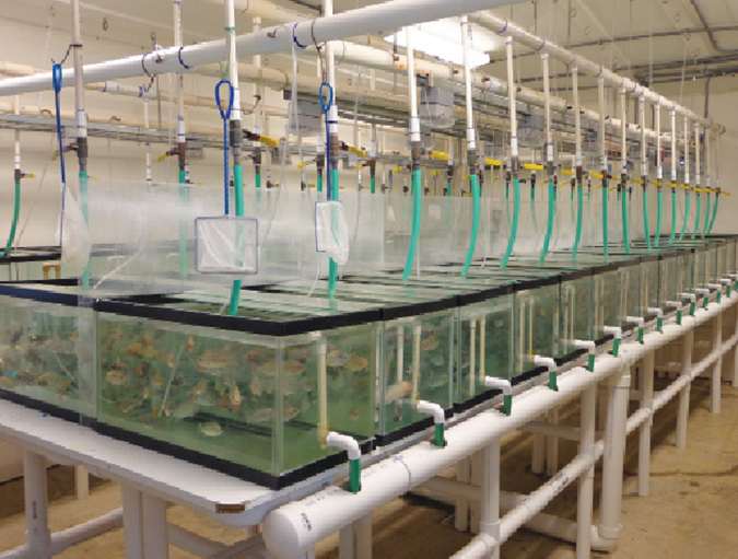 Article image for Parasite treatment reduces F. columnare infection in tilapia
