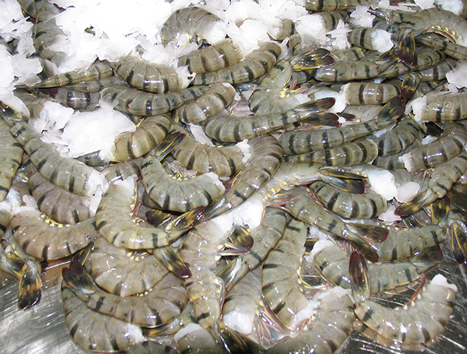 Article image for GOAL Shrimp Production Survey: Recovery coming