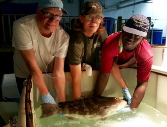 Dan Benetti, Zack Daugherty and Rico handle a Nassau grouper broodstock at Tropic Seafood facilities in the Bahamas. Photo by Carlos Tudela.