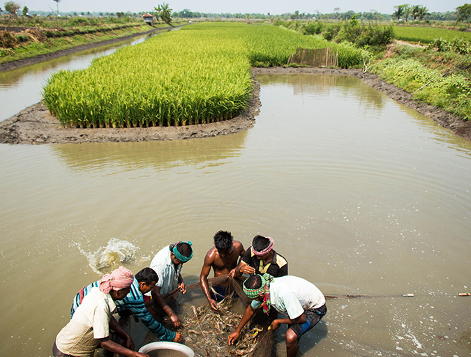 Article image for Rice-fish integration for high saline, coastal areas of Bangladesh