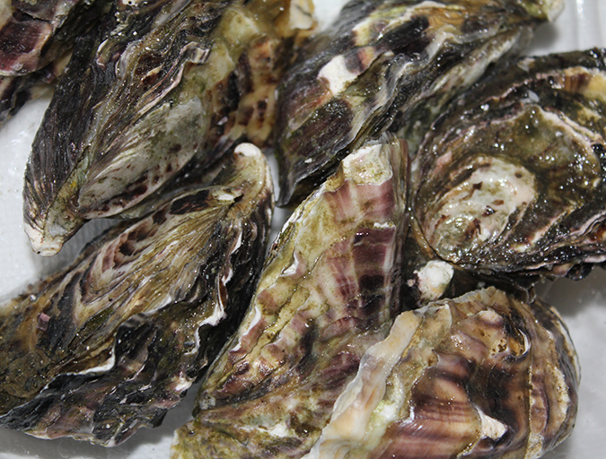Article image for Examining the protozoan Perkinsus sp. in Mexican Pacific oyster aquaculture