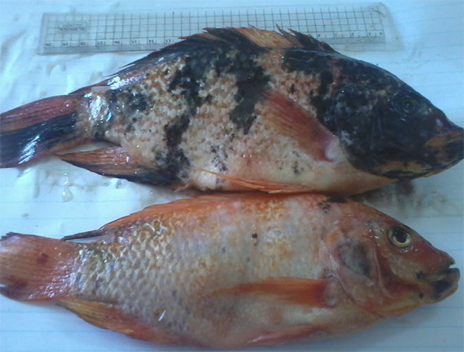 Article image for Genetic improvement aids red tilapia growth in Egypt
