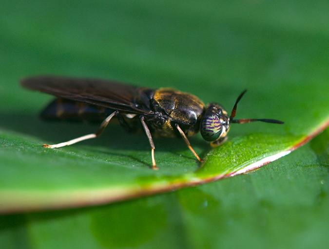 Article image for Buggin' out: Tapping the potential of insect meal in aquaculture
