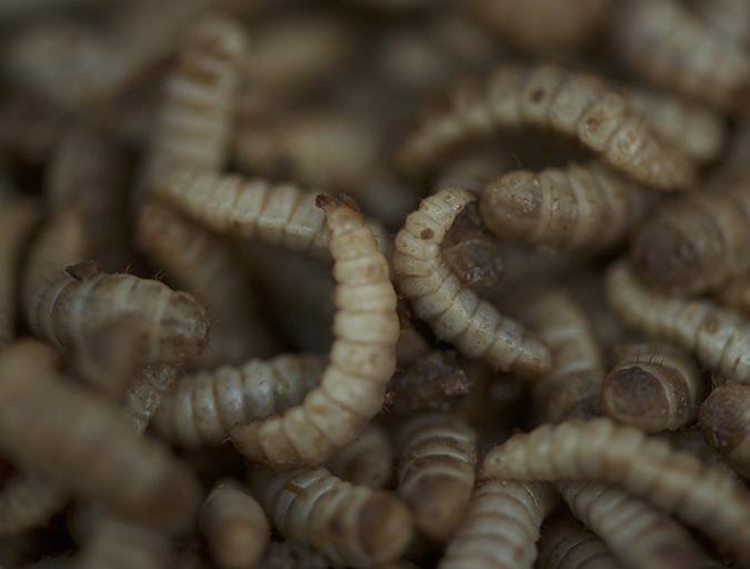 Article image for Aprovechando el potencial de la harina de insectos en la acuacultura