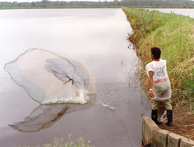 Article image for Regular population sampling of shrimp in ponds, part 2