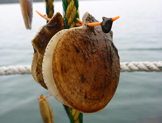 Article image for Maine scallop farmers get the hang of Japanese technique
