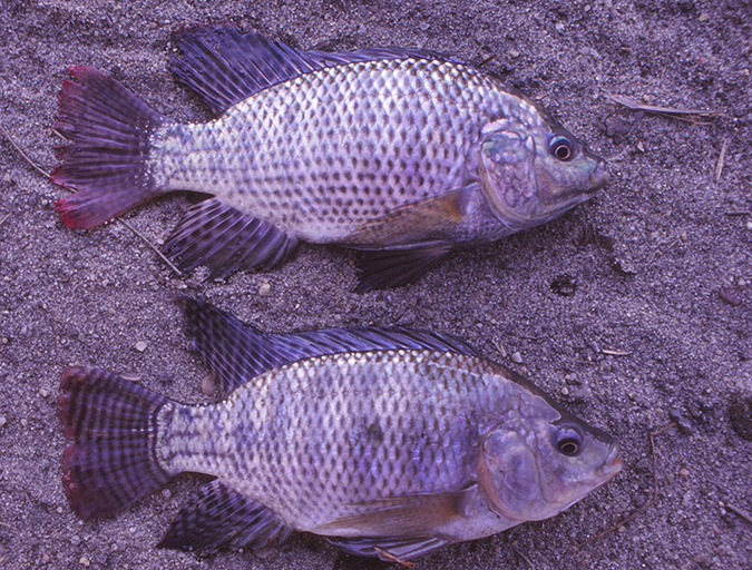 Article image for Successful production of Nile and blue tilapia fry