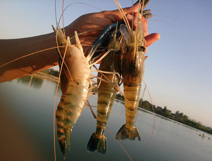 Article image for Culture of giant freshwater prawns in China