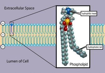 The cell membrane, also called the plasma membrane or plasmalemma, is a semipermeable lipid bilayer common to all living cells. It contains a variety of biological molecules, primarily proteins and lipids, which are involved in a vast array of cellular processes. It also serves as the attachment point for both the intracellular cytoskeleton and, if present, the cell wall. Credit: Dhatfield. https://commons.wikimedia.org/wiki/File:Cell_membrane_detailed_diagram_3.svg