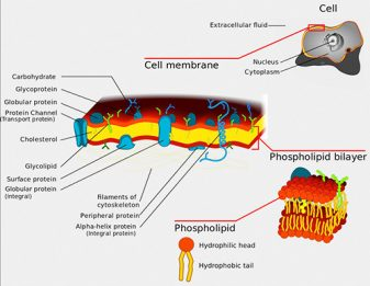 Phospholipids are a class of lipids that contain phosphorus and are major components of all cell membranes because they form lipid bilayers. Credit: Tvan Brussel. https://commons.wikimedia.org/wiki/File:Phospholipid_TvanBrussel.jpg#filelinks