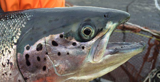 farmed salmon aquaculture