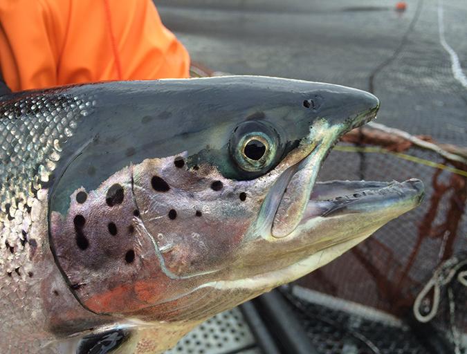 Article image for Cambios en la percepción de los consumidores europeos de salmón cultivado