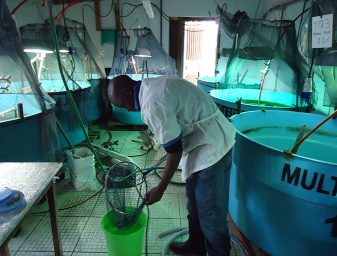 In Zacarias' trials in Honduras, Pacific white shrimp at 10 months of age from non-ablated populations will transition to a two-month period of external-manipulation conditioning. This will include controlling the water temperature, diet and the animals' exposure to light.