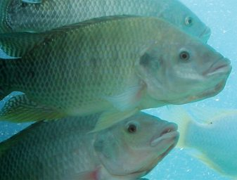 Tilapia. Photo courtesy of FishVet Group.