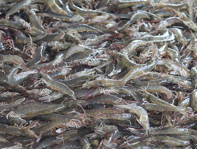 Article image for Critical decisions for shrimp harvesting and packing, Part 2