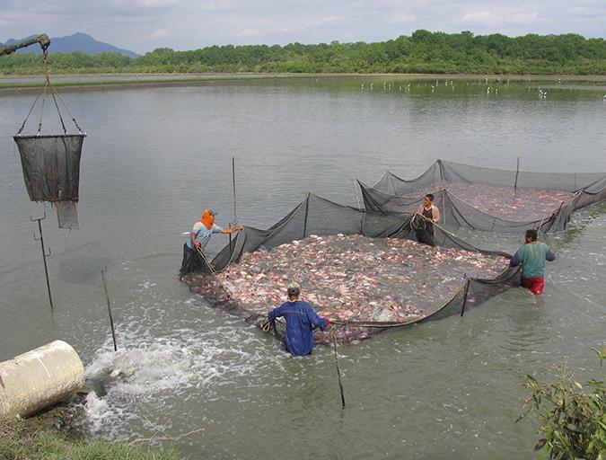 Article image for Abordando la inocuidad en la cadena de suministro de tilapia de América Latina