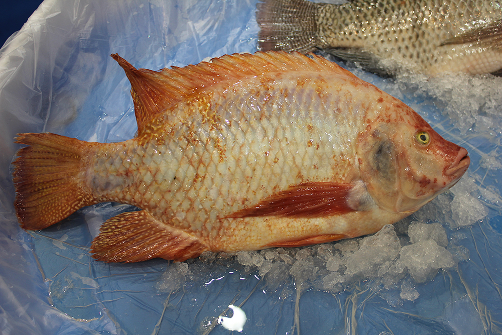 Article image for Adding value to tilapia to tap into U.S. market