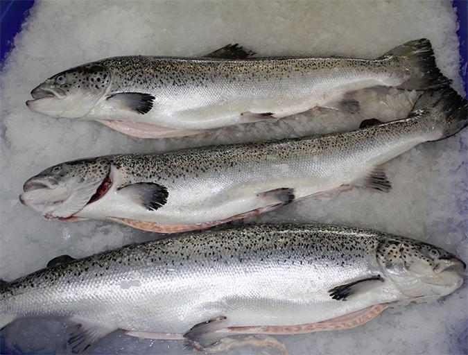 Article image for Aquaculture viruses: An Atlantic salmon case study