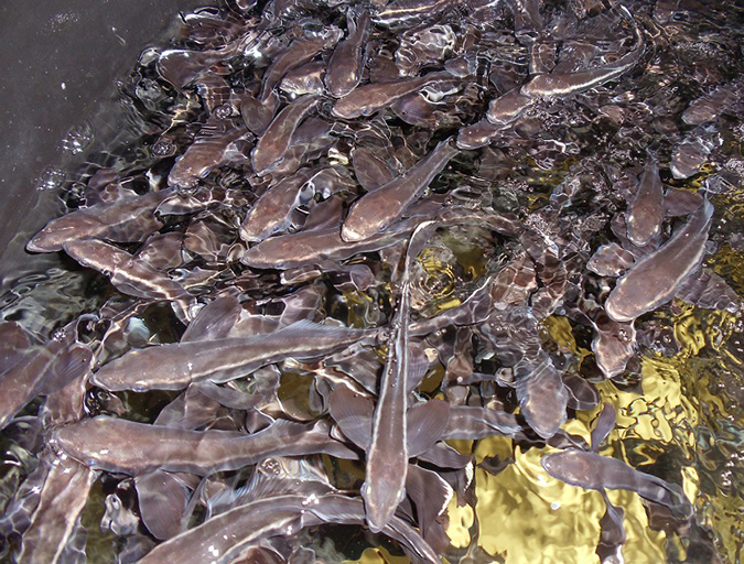 Article image for Is a fish oil-free cobia feed possible?