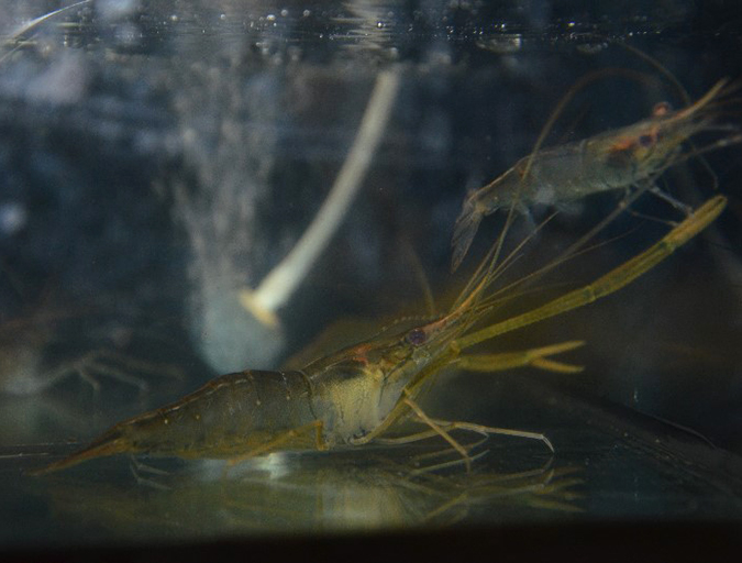 Article image for Determining safe levels of ammonia and nitrite for shrimp culture