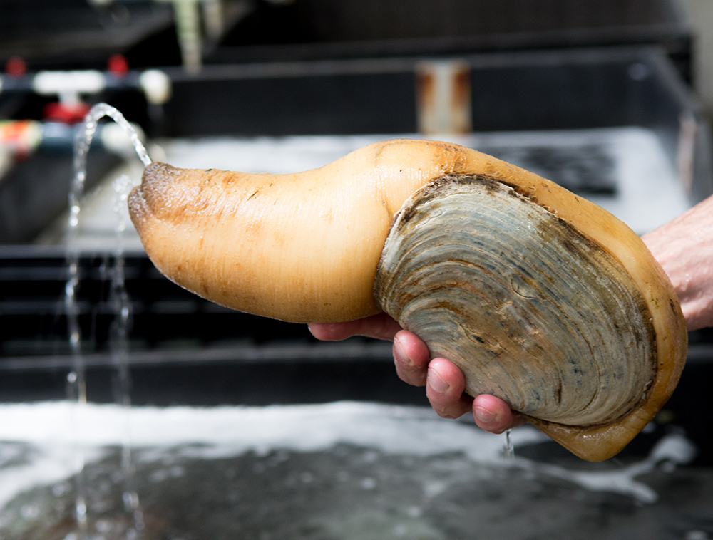 Article image for Despite Seafood Watch downgrade, few market changes for geoducks