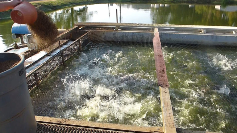 Article image for The promise of In-Pond Raceway Systems, part 2