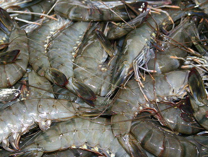 Article image for The proper use of brine to freeze shrimp, part 1