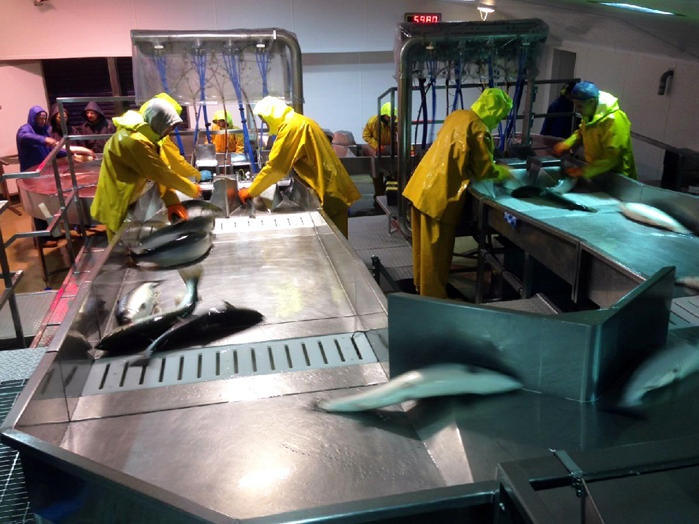 Article image for Fish producers benefit from humane slaughter techniques
