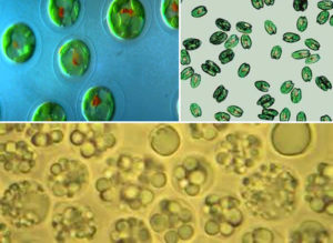 desirable phytoplankton species under a microscope