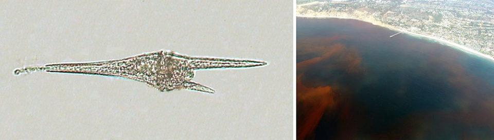 Dinoflagellates blooming causing red tides