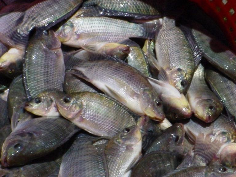 Article image for Consideraciones para el cultivo de tilapia en ambientes de agua salada